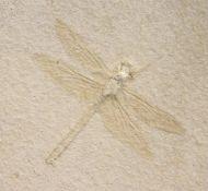 Dragonfly ,  Mesuropetala koehleri