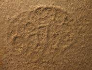 Eulithota cf fasciculata & Neochetoceras