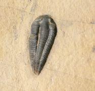 Nephalicephalus beebei (Shanan Peters dissertation, 2003, unpubl