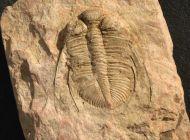 Coronocephalus jastrouli