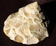 Xenophora burdigalensis GRATELOUP, 1847