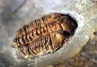 Pterygometopus borni
