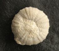 Heterodiadema lybicum (AGASSIZ & DESOR, 1846)