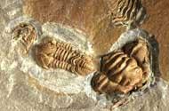 Colpocoryphe deani