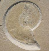 Neochetoceras  sterapsis OPPEL 1863