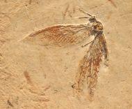 Lacewing ,  (Neuroptera)