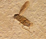 Cockroach, (Blattodea)
