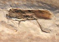 Grasshopper, (Saltatoria)