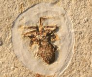 Spider (Araneae)